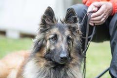 Belgian shepherd tervuren. Animal dog belgian shepherd tervuren outdoors Royalty Free Stock Photography