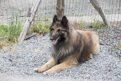 Belgian shepherd tervuren. Animal dog belgian shepherd tervuren outdoors Royalty Free Stock Photos