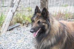 Belgian shepherd tervuren. Animal dog belgian shepherd tervuren outdoors Stock Photo