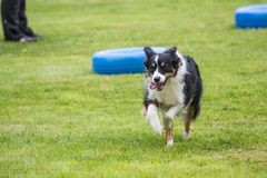 Border collie. Animal dog border collie outdoors stock image