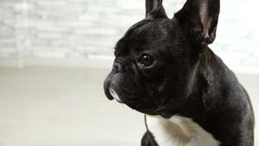 Dog breed French bulldog sitting. Animal dog breed French bulldog sitting stock video