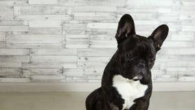 Dog breed French bulldog sitting stock video footage