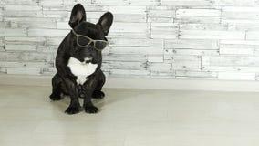 Animal dog breed French bulldog sitting. In glasses stock video