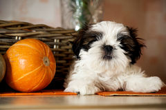 Animal dog breed shih tzu puppy lies beside a pumpkin Royalty Free Stock Image