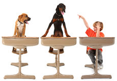 The Animal, Dog Classroom. Three students, two dogs, one boy, in school desk over white.  Eight year old boy with boxer puppy and doberman puppy Stock Photo