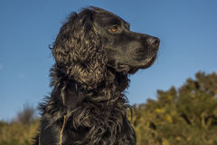 Animal, Dog, Cocker Spaniel, Black Royalty Free Stock Photography
