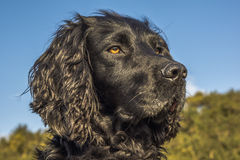 Animal, Dog, Cocker Spaniel, Black Stock Photos