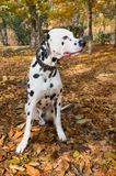 Animal dog dalmatian pet Stock Photography