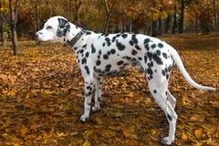 Animal dog dalmatian pet Stock Photo