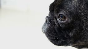 French bulldog close-up portrait stock video footage