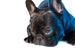 Animal dog French bulldog lying Royalty Free Stock Photos