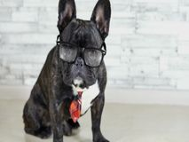 French bulldog sitting in a tie and glasses stock video