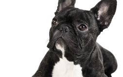 Animal dog French bulldog Royalty Free Stock Images