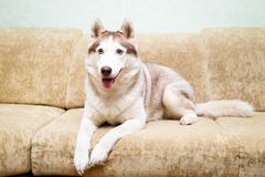 Animal dog at home. Siberian husky in the apartment on the couch Royalty Free Stock Photography