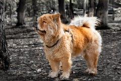 Animal dog pets chow Stock Photos
