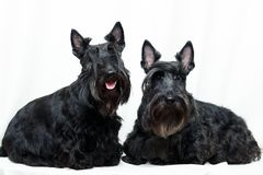 Animal dog at white home. Two Black Scottish Terrier dog in white room royalty free stock photos