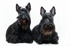 Animal dog at white home. Two Black Scottish Terrier dog in white room stock photos