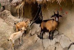 Animal doméstico Imagens de Stock Royalty Free
