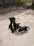 Animal doméstico blanco negro del perro imagen de archivo libre de regalías