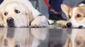 Animal doméstico criado en línea pura adorable en la exposición del perro almacen de metraje de vídeo