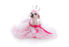 Animal doméstico cuidado en exceso de la princesa o de la bailarina Imagen de archivo