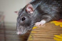 Animal doméstico de la rata Fotos de archivo libres de regalías