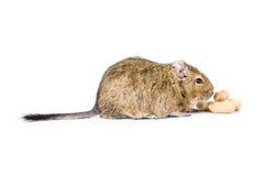 Animal doméstico Degu Imágenes de archivo libres de regalías