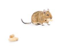 Animal doméstico Degu Imagen de archivo libre de regalías