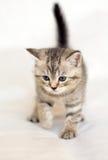 Animal doméstico del gatito Foto de archivo