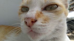 Animal doméstico del gato Foto de archivo