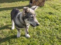 animal doméstico gris Imagen de archivo libre de regalías
