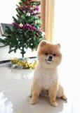 Animal doméstico lindo del perro de Pomeranian en hogar con el árbol de navidad Imagenes de archivo