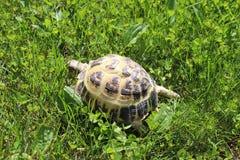 Animal doméstico ruso de la tortuga en hierba Imagen de archivo