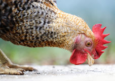 The animal, the domesticated fowl, Royalty Free Stock Photography