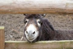 Animal donkey looking through the gap in the fence fencing corral Stock Photos