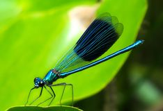 Animal, Dragonfly, Insect, Wing Stock Image