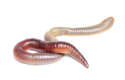Animal earth worm isolated Stock Photo