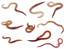 Animal earthworm Stock Images