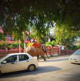 ELEPHANT WALKING ON ROAD royalty free stock images