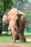 Animal elephant walking Stock Photo