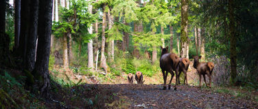 Animal Elk Herd Oregon Woods NW Forest Wildl Royalty Free Stock Photos