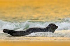 Animal en el agua Grey Seal, grypus de Halichoerus, retrato en el agua azul, onda en el fondo, animal del detalle en el natur imagen de archivo libre de regalías