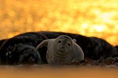 Animal en el agua Grey Seal, grypus de Halichoerus, retrato en el agua azul, onda en el fondo, animal del detalle en el natur imagenes de archivo