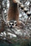 Animal en peligro exótico que cuelga upside-down - Lem fotografía de archivo libre de regalías