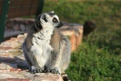 Animal en peligro exótico - Lemur Fotografía de archivo