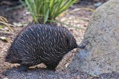 Animal endêmico australiano do Echidna Fotos de Stock Royalty Free