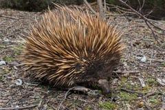 Animal endêmico australiano do Echidna Imagens de Stock