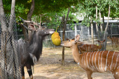 Animal enrichment in zoo Stock Photos