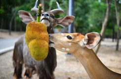 Animal enrichment in zoo Stock Photos