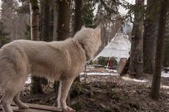 Animal enroué de Sibérien de chien Photographie stock